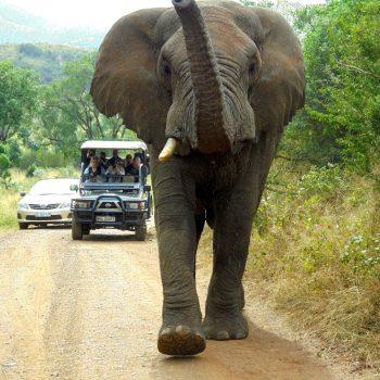 Deze olifant liep recht op ons af!