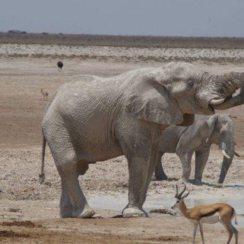 Olifant onder de klei drinkend bij waterhole