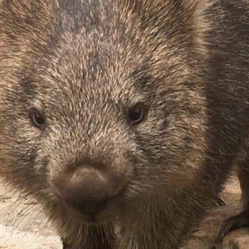 Wombat Sarah; toen haar moeder werd doorgereden, is zij opgevangen in Natureworld