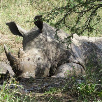 heel veel neushoorns in het Hluhluwe iMfolozi Park