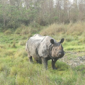 Neushoorns spotten in Chitwan