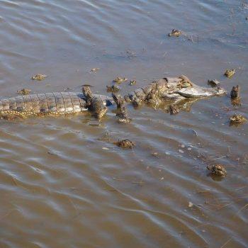 Alligator met jongen