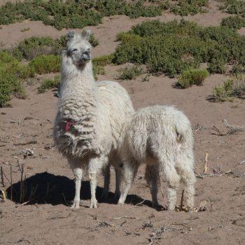 Lama's tijdens de Salar de Uyuni tour