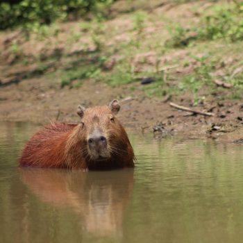 Capibarra