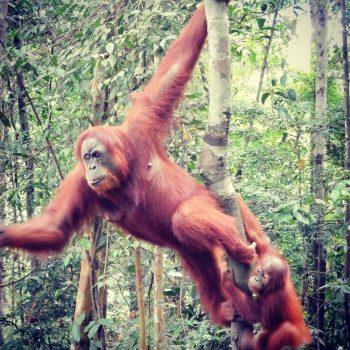 Orang oetan in Sumatra