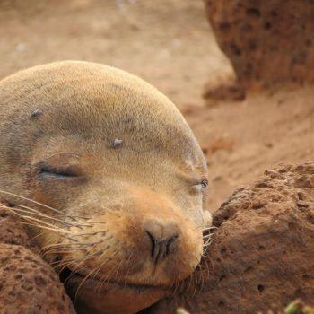 Zeehondje op de Galapagos