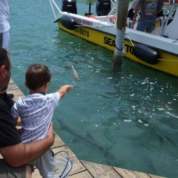 Vis voeren aan de tarpons bij Robbie's