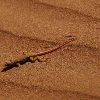 Salamander in Deadvlei