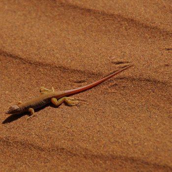 Salamander in Deadvlei