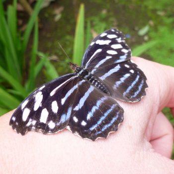 Spyrogyra Butterfly Garden, vlindertuin in San José