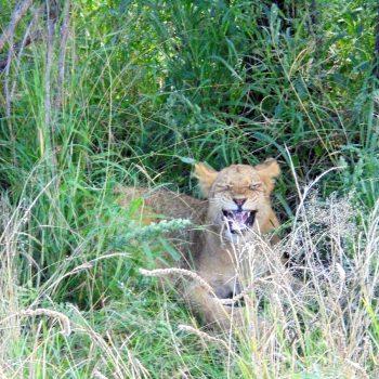 Deze gapende leeuw zat zo dichtbij!