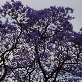Een straat met bomen vol met paarse bloemen