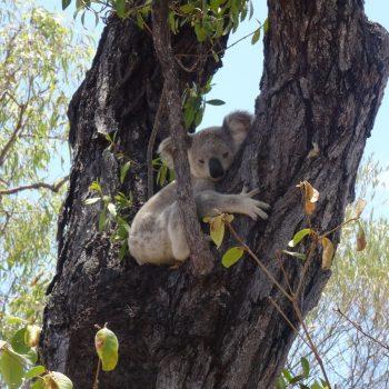 Koala's spotten in het wild