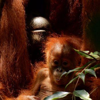 Oeranoetang met baby tijden de hike door de jungle