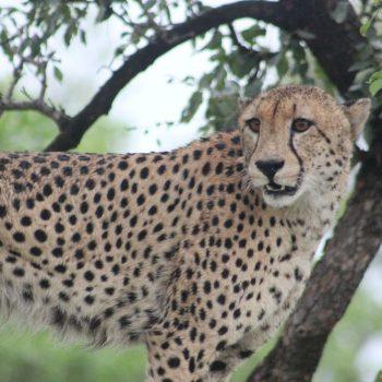 Cheetah in het Kruger Nationaal Park