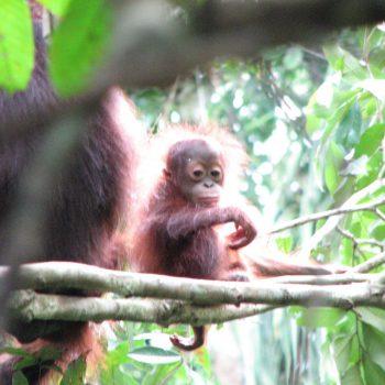baby oeran oetang in Borneo