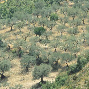 olijven overal