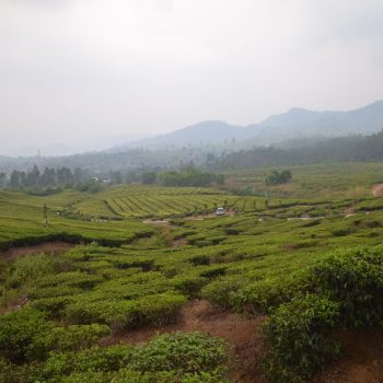 Theeplantages bij Bandung