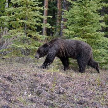 Onze eerste grizzly