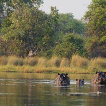 Familie nijlpaard in de Delta