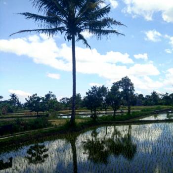 Omgeving van Jogjakarta, rijstvelden