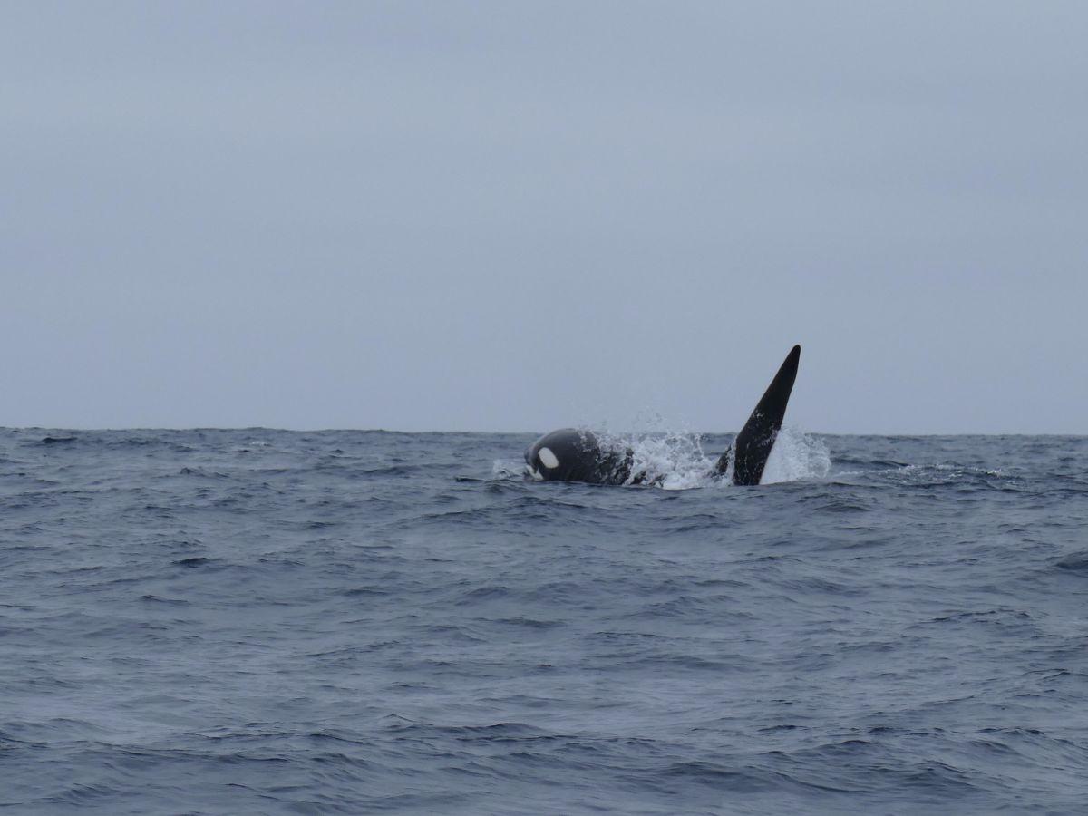 Orka Isla de la Plata