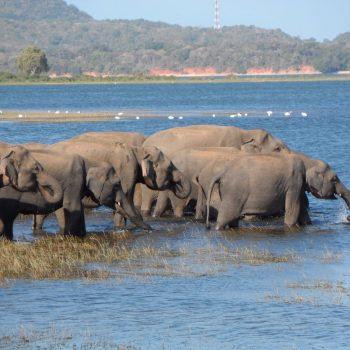 Olifanten in Minneriya National Park