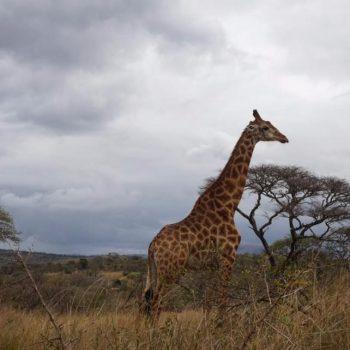 Giraffe in het Hluhluwe-Imfolozi Park
