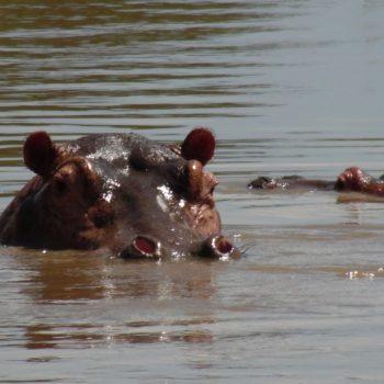 de nijlpaarden tijdens de boottocht naar de waterval