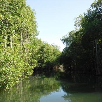 Mangroven bij de Black River