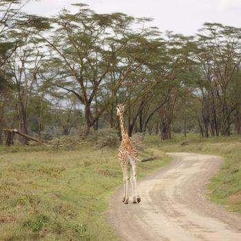 Rennende giraf