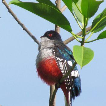 Tocororo de nationale vogel van Cuba met de kleuren van de Cubaanse vlag
