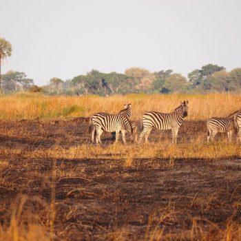 Een groepje zebra's in een afgebrand veld tijdens de avondwandeling