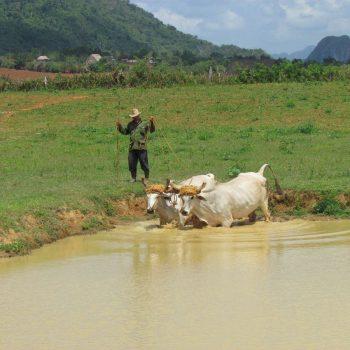Boer met zijn runderen