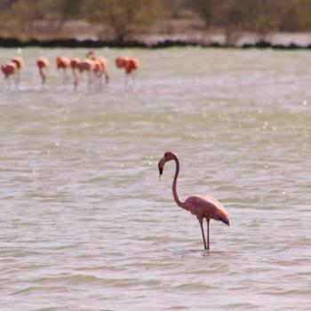 Flamingo's bij Jan Kok