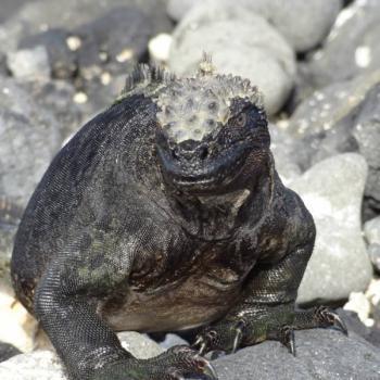 Iguana's op de Galapagos