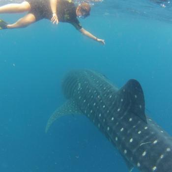 Zwemmen bij walvishaaien, wat een ervaring!