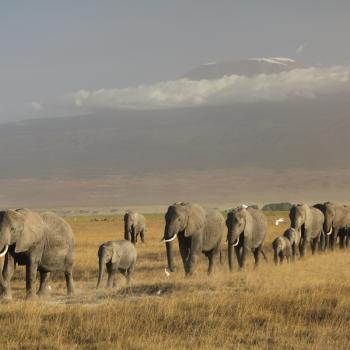 Amboseli, olifanten met op de achtergrond de Kilimanjaro!