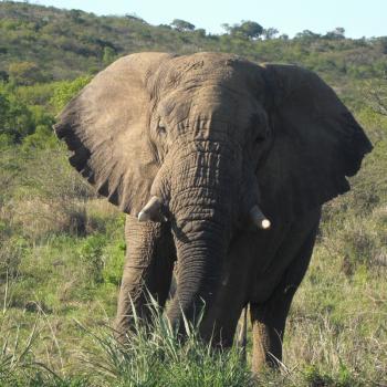 Olifant in Krugerpark