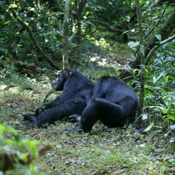 Chimpansees @ Kibale Forest
