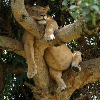 Tree climbing lions Ishasha @ Queen Elizabeth NP