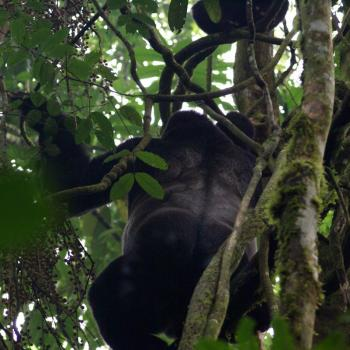 Gorilla's @ Bwindi NP