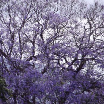 jacarandebomen in johannesburg