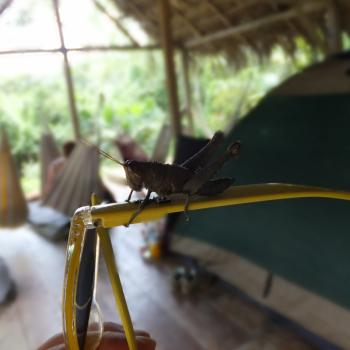 Iets te aanhankelijke sprinkhaan in de Amazonejungle
