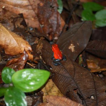 jeans legged frog (aardbeienkikkertje)