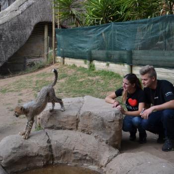 Cheetah cub geadopteerd bij Cango Wildlife Ranch