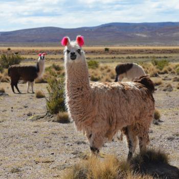 Lama's! - Tupiza