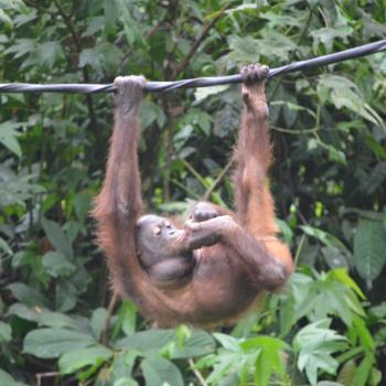 Hier kwamen we voor: Orang-oetans!