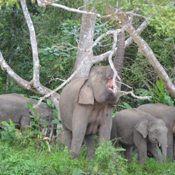 pygmee-olifanten
