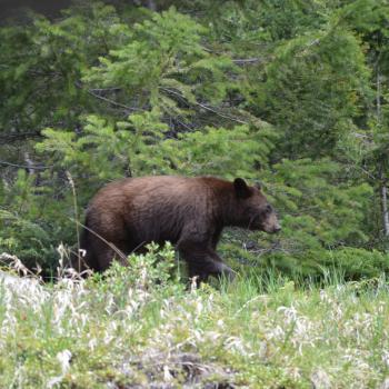 (bruine) zwarte beer